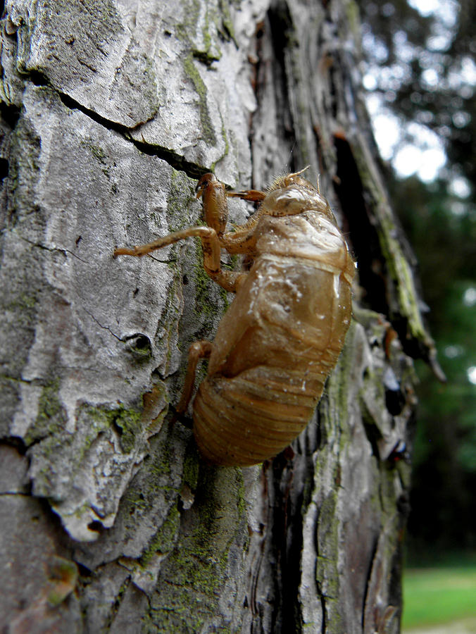 Bug Photograph - Cicada Bug Shell Nc Usa 2013 by Kim Galluzzo Wozniak
