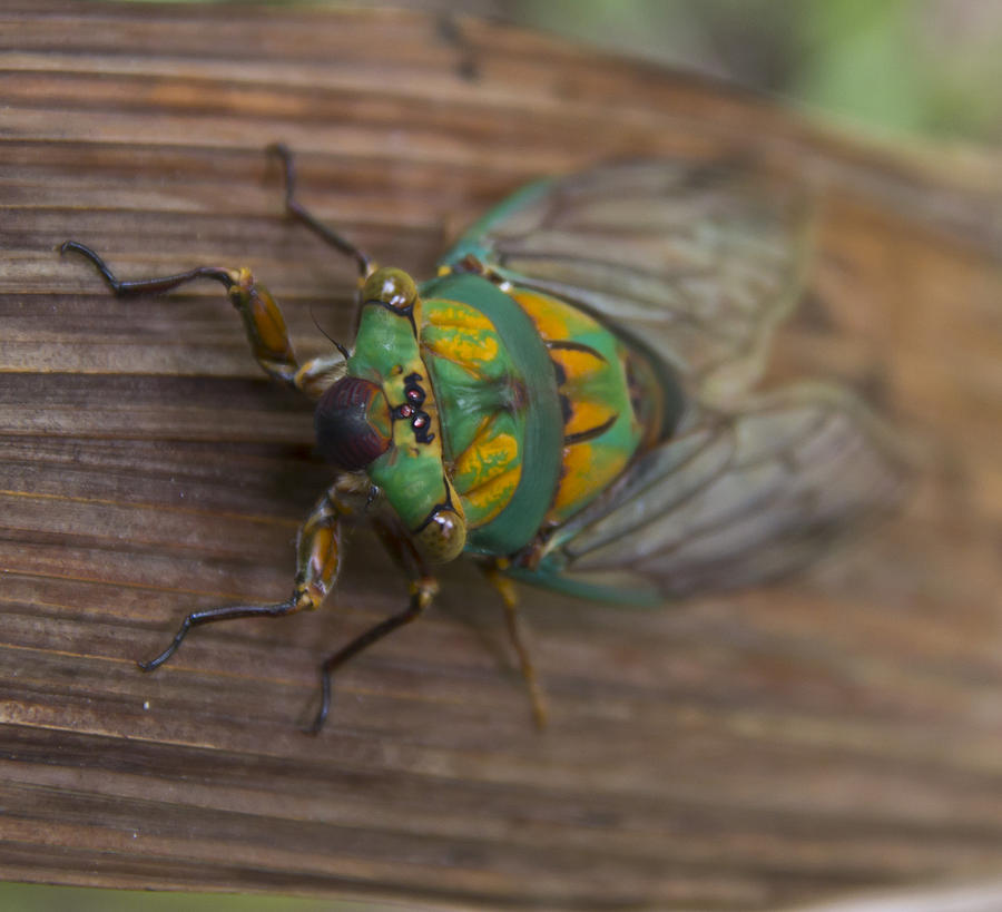Cicada Photograph - Green Whizzer Cicada by Debbie Cundy