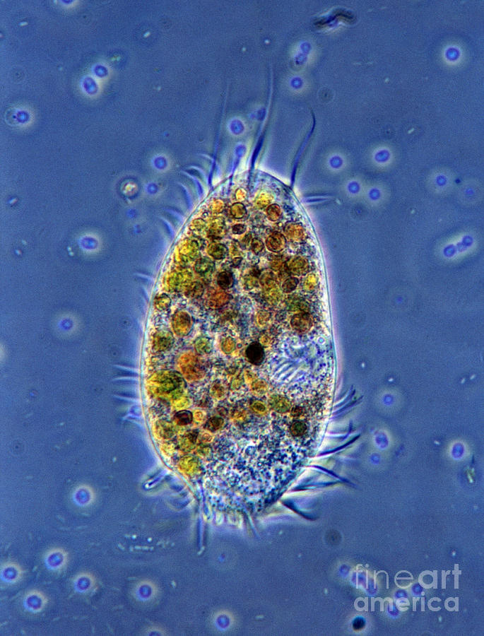 Ciliate Photograph - Ciliated Protozoan by De Agostini Picture Library