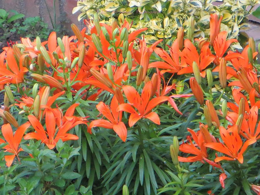 Orange Photograph - Cincture Of Lilies by Sonali Gangane