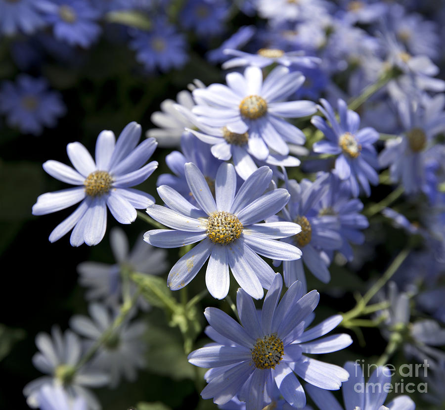 Blue Daisy Photograph - Cineraria 1225 by Terri Winkler