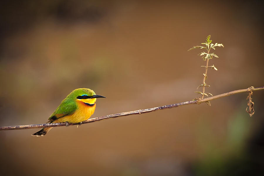Africa Photograph - Cinnamon-chested Bee-eater by Adam Romanowicz