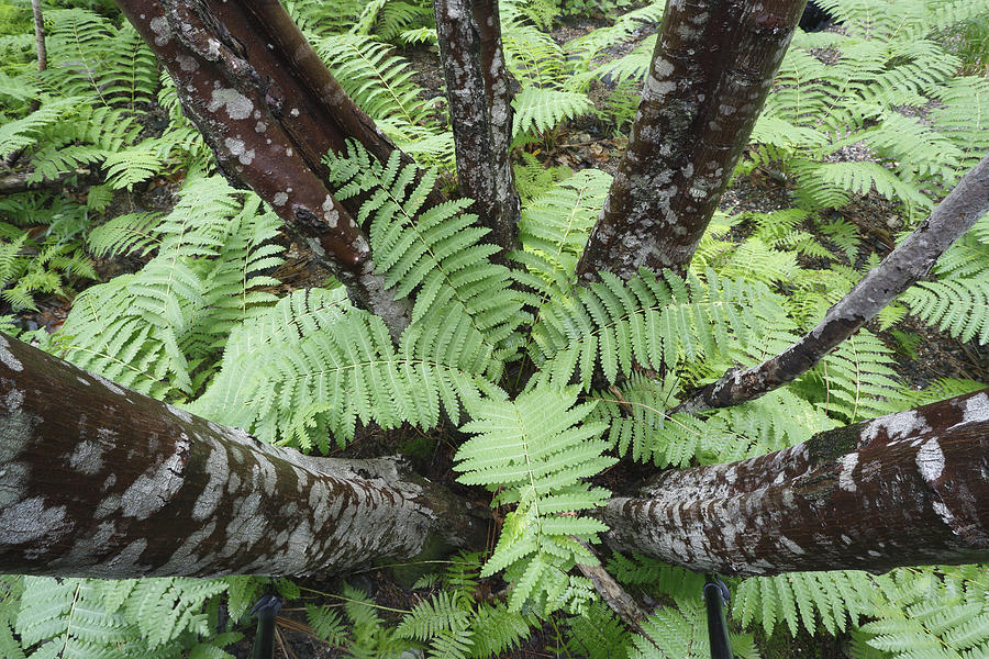 Cinnamon Ferns On Forest Floor Canada Photograph by Scott Leslie