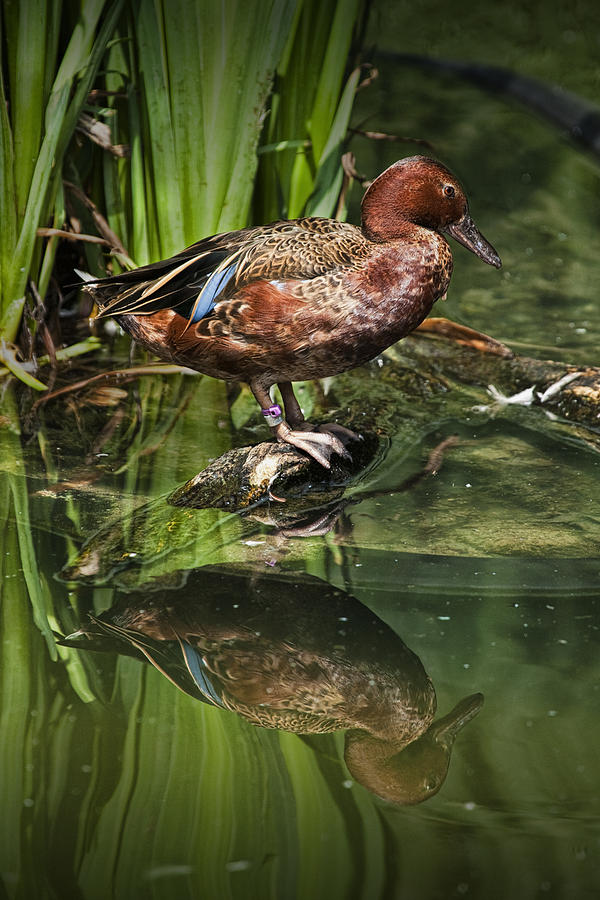 Nature Photograph - Cinnamon Teal Duck With Reflection by Randall Nyhof