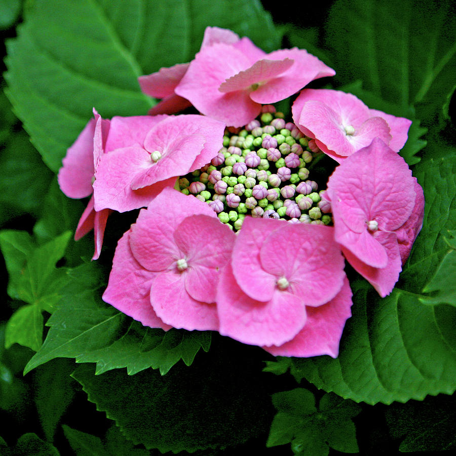 Hydrangea Photograph - Circle Of Friends by Art Block Collections