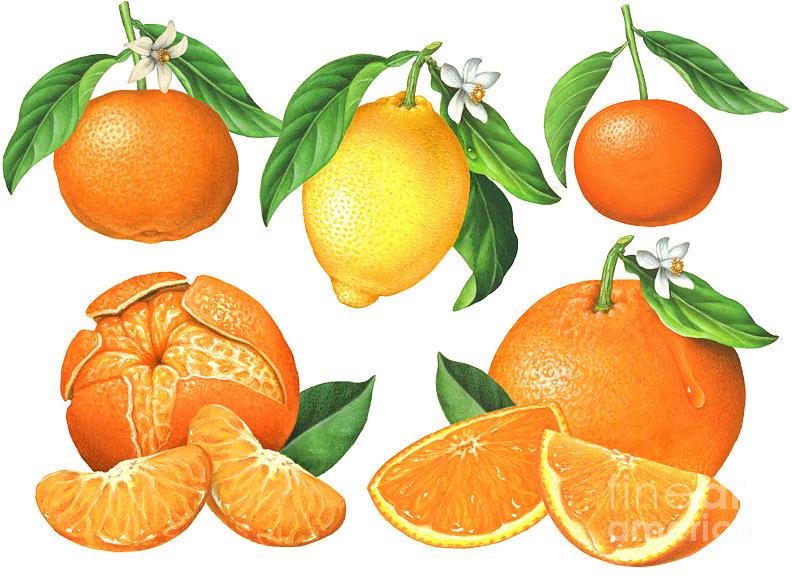 Tangerine Painting - Citrus Botanicals by Douglas Schneider