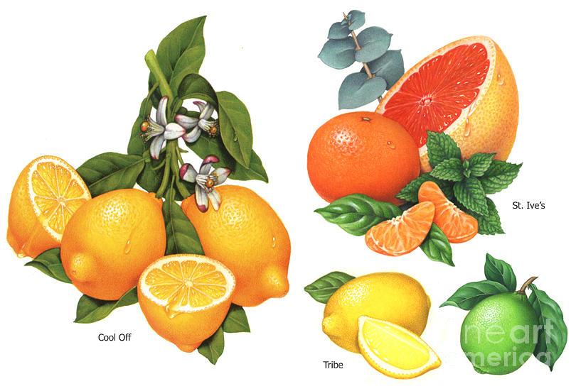 Citrus Painting - Citrus Illustrations #3 by Douglas Schneider