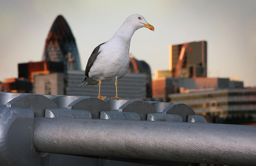 Seagull Photograph - City Seagull by Stephen Norris