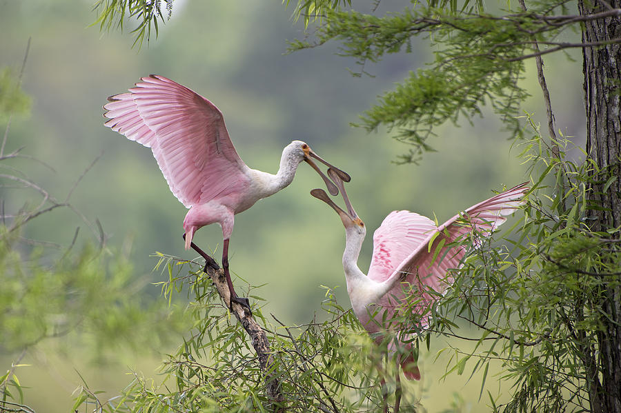 Roseate Spoonbills Photograph - Clacking Bills by Bonnie Barry