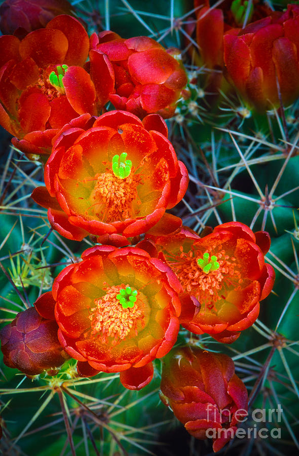 America Photograph - Claret Cup by Inge Johnsson