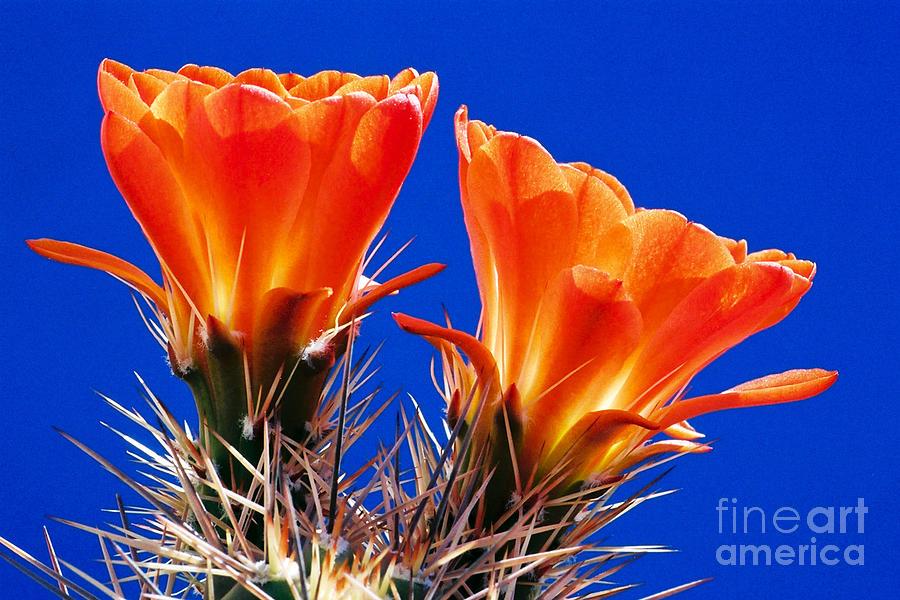 Cactus Photograph - Claret Cup On Blue by Douglas Taylor