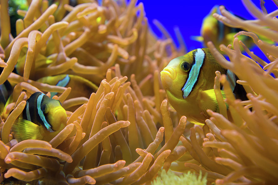 Clarks Anemonfish - Amphiprion Clarkii Photograph by Cruphoto