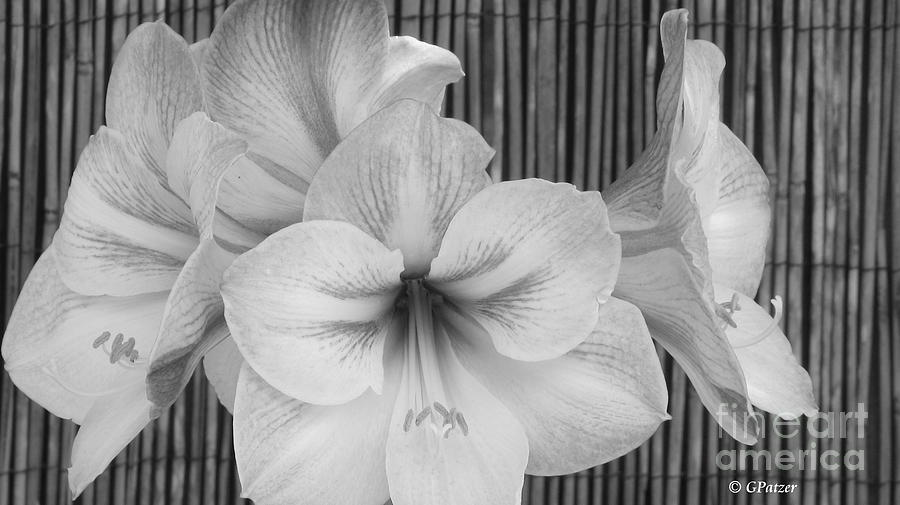 Lily Photograph - Classic Lilies by Greg Patzer