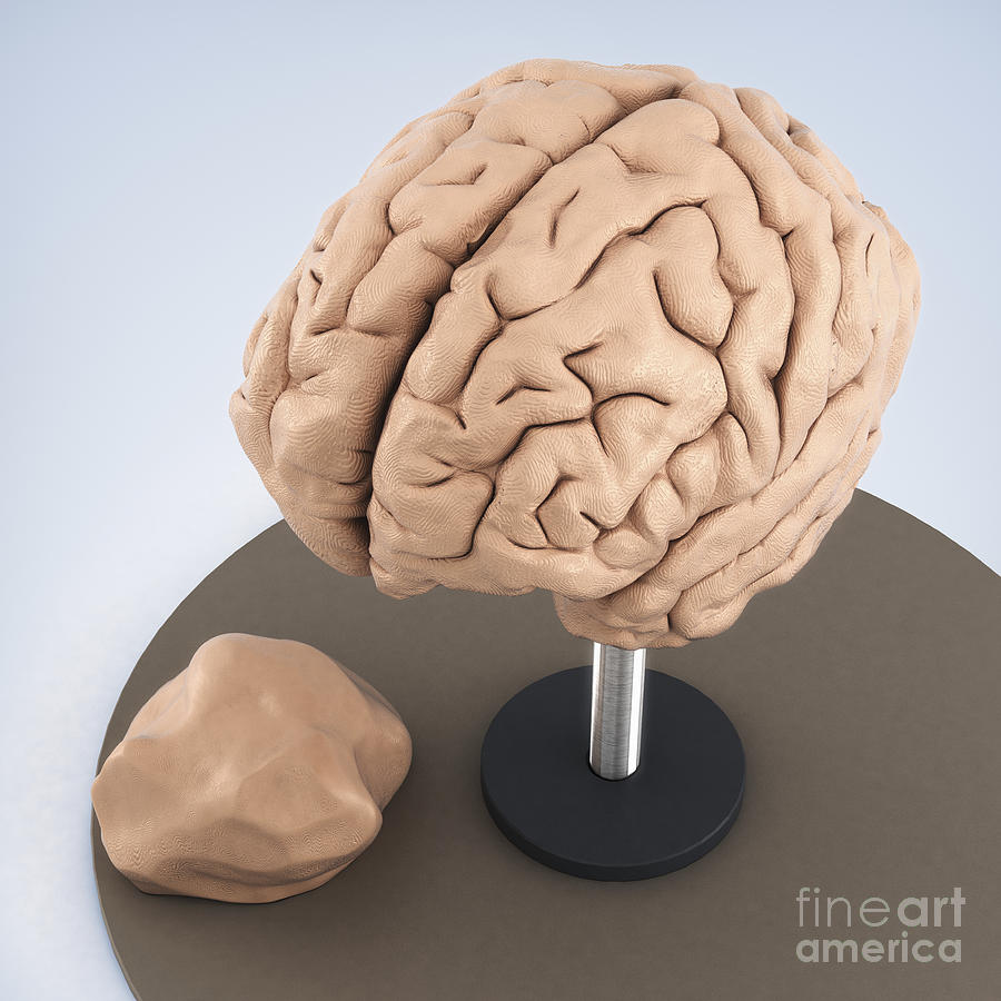 Clay Model Of Brain Photograph by Science Picture Co