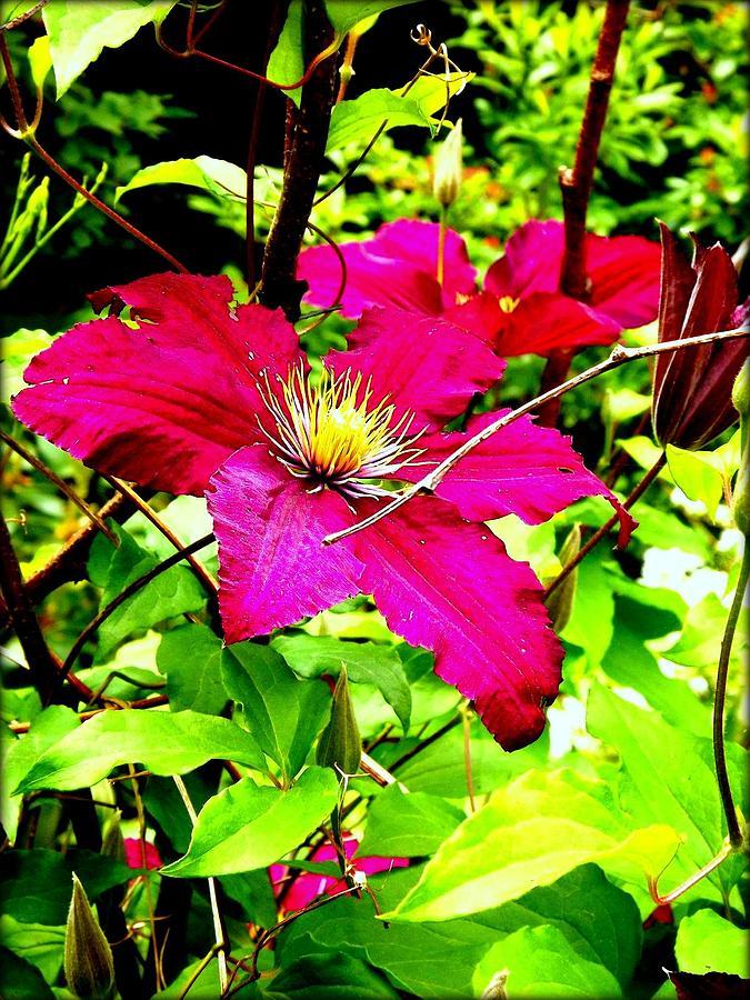 Flower Photograph - Clematis by Dancingfire Brenda Morrell
