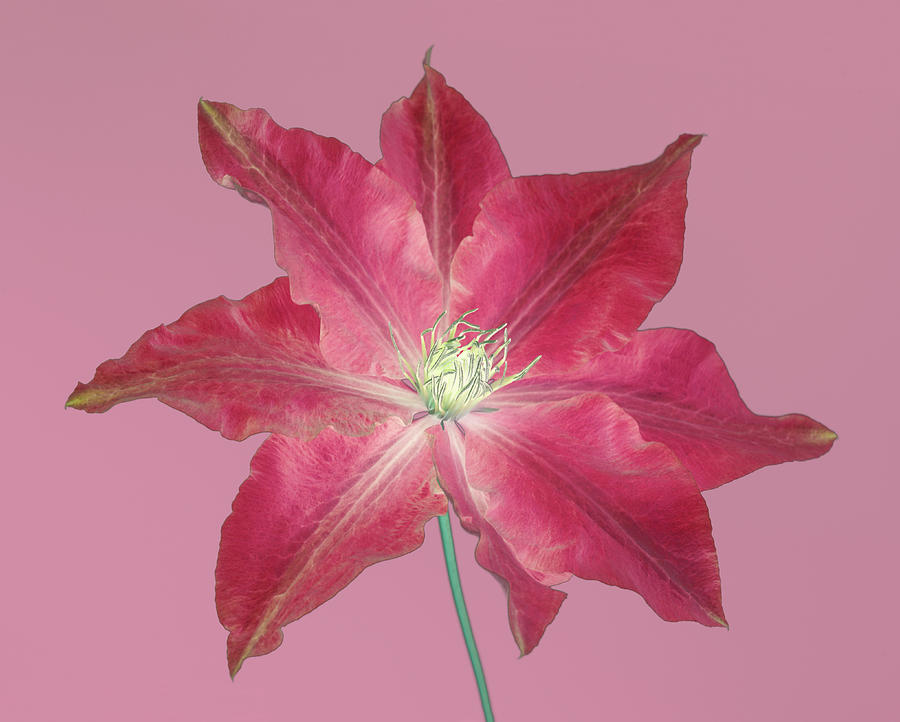 Clematis Digital Art - Clematis In Gentle Shades Of Red And Pink. by Rosemary Calvert