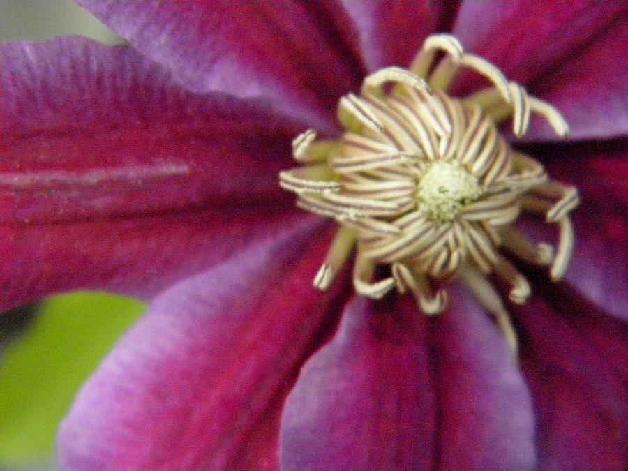 Flowers Photograph - Clematis by Marijo Fasano