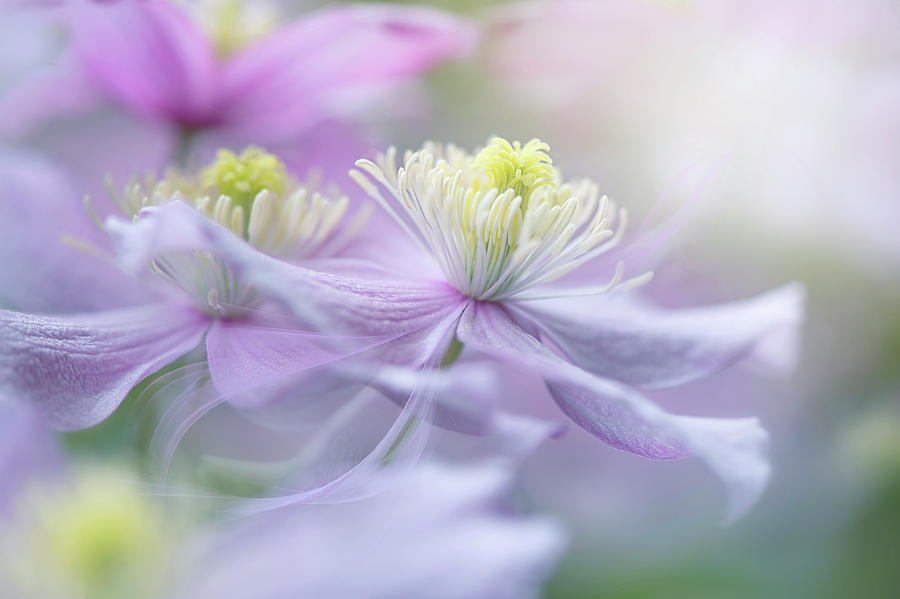 Clematis Photograph - Clematis mayleen by Jacky Parker