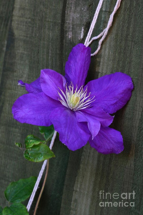 Purple Photograph - Clematis On A String by Jeremy Hayden