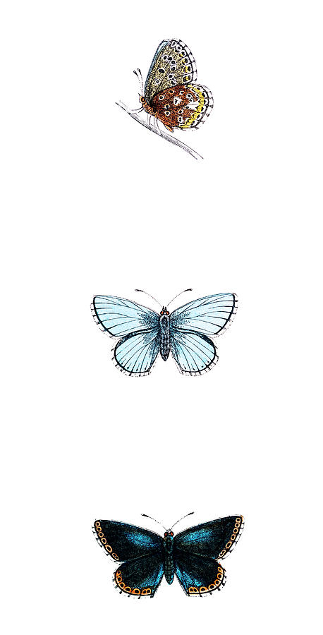 Clifton Or Dartford Blue Butterfly - Digital Art by Andrew howe