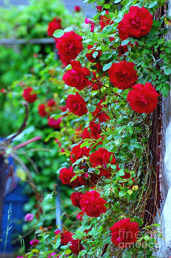climbing red roses photograph by c lythgo. Black Bedroom Furniture Sets. Home Design Ideas