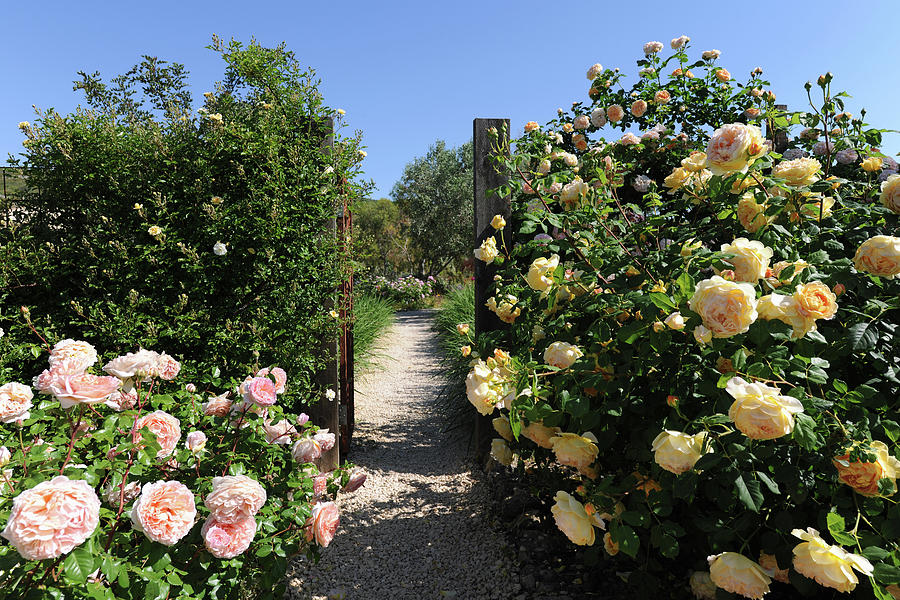 Climbing Roses In Full Bloom, Marnes Photograph by Josie Elias