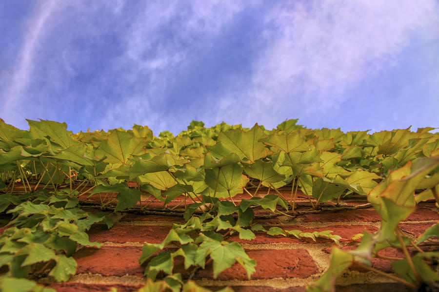 Ivy Photograph - Climbing The Walls - Ivy - Vines - Brick Wall by Jason Politte