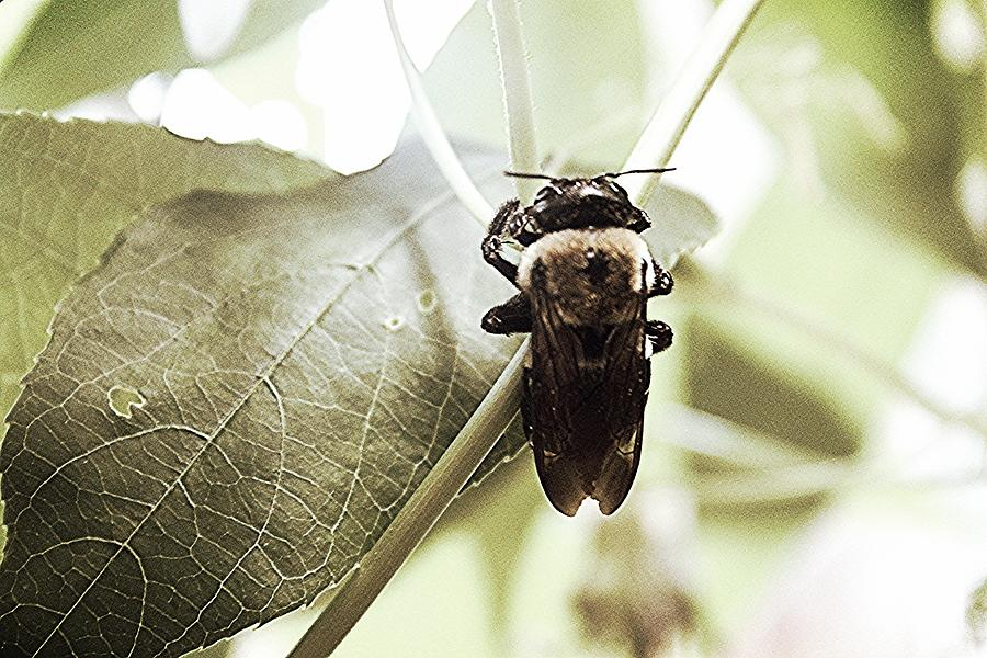 Clinging Photograph - Clinging Bumble Bee by Sarah E Kohara