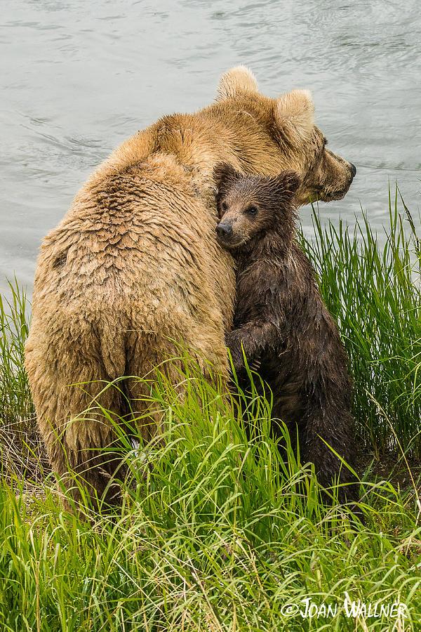 Alaska Photograph - Clinging To Mom by Joan Wallner