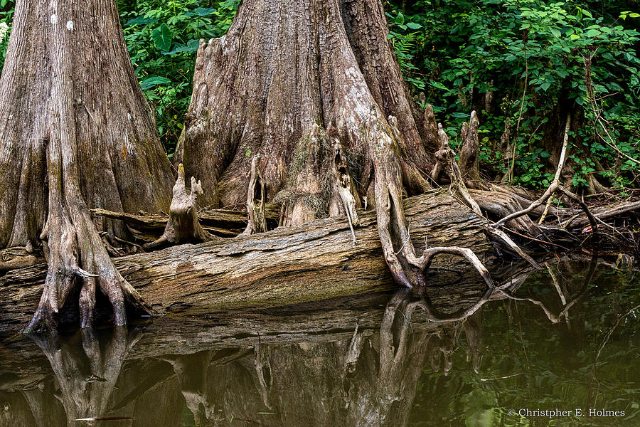 Ocular Perceptions Photograph - Clinging Cypress by Christopher Holmes