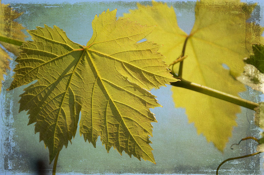 Grape Vine Photograph - Clinging To The Vine by Fraida Gutovich