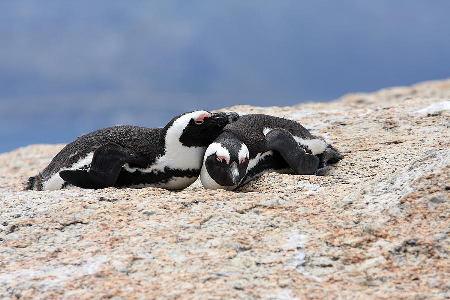 Penguin Photograph - Close Bonds by Aidan Moran