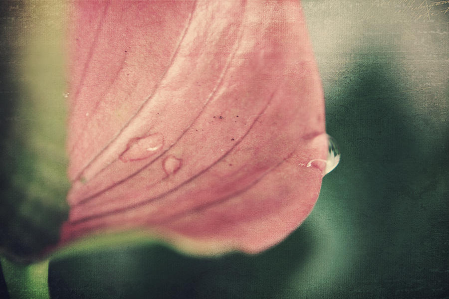 Anthuriums Photograph - Close To Falling by Laurie Search