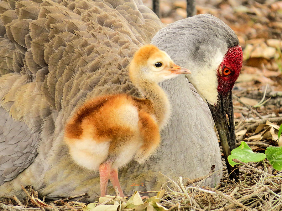 Chick Photograph - Close To Mother by Zina Stromberg