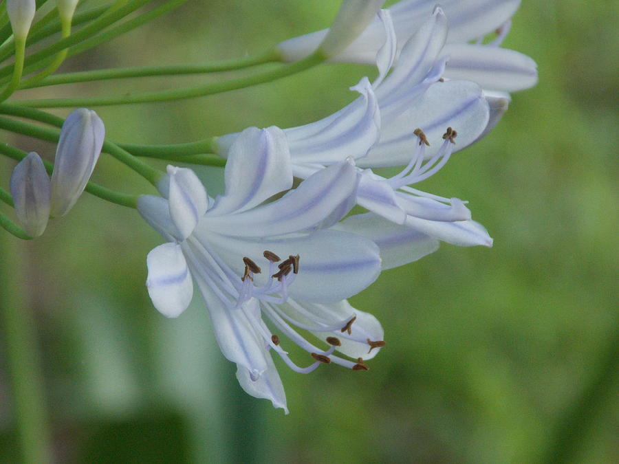 Purple Flower Pictures Photograph - Close Up - African Lily by Annette Allman