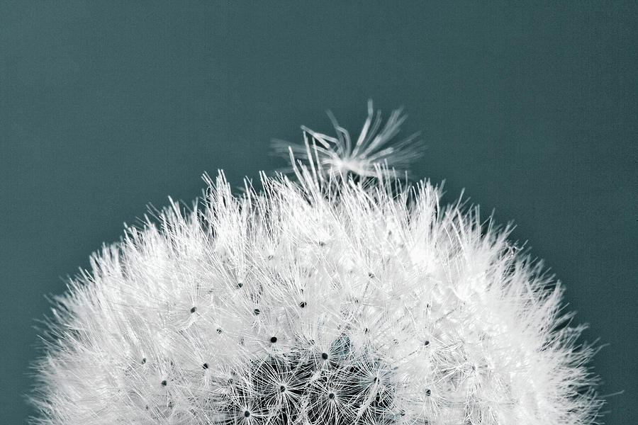 Horizontal Photograph - Close-up Dandelion Seeds, Prague, Czech by Panoramic Images