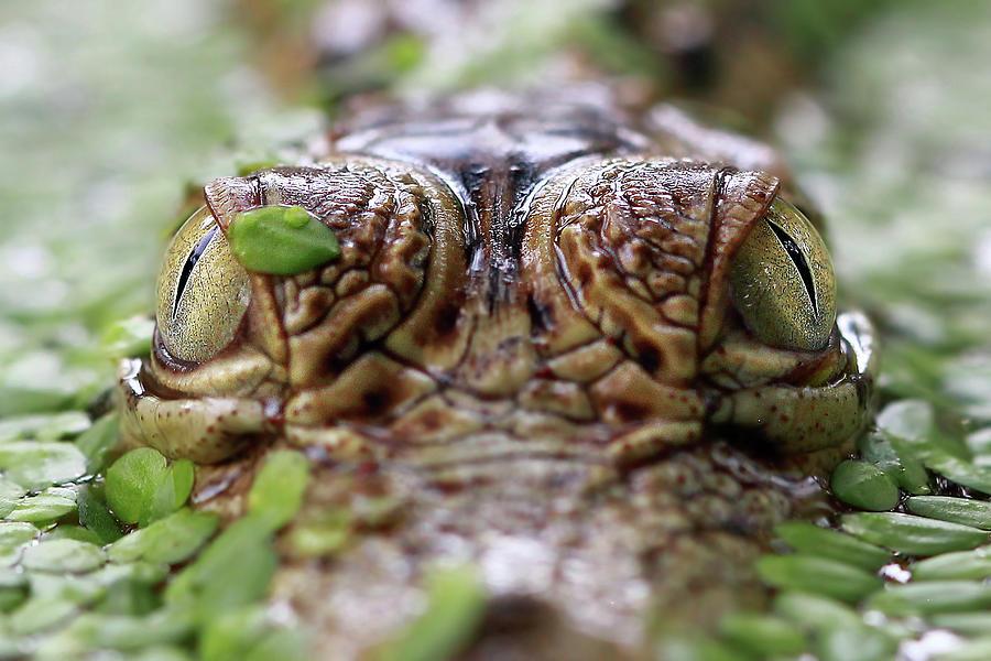 Close-up Of A Crocodiles Eyes Photograph by Kuritafsheen