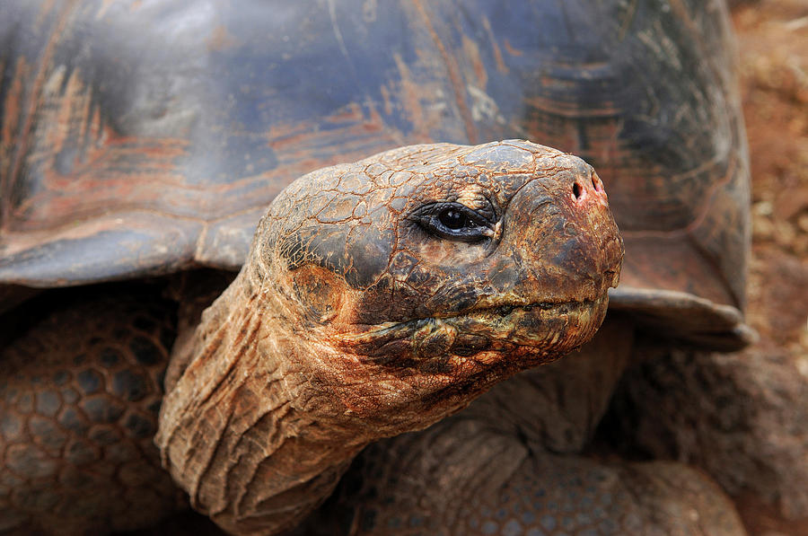 Adult Photograph - Close Up Of A Galapagos Tortoise, Giant by Miva Stock