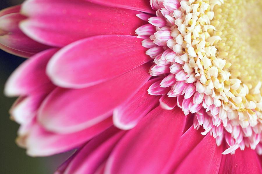 Close-up Of A Gerbera Flowerhead Photograph by Juergen Bosse