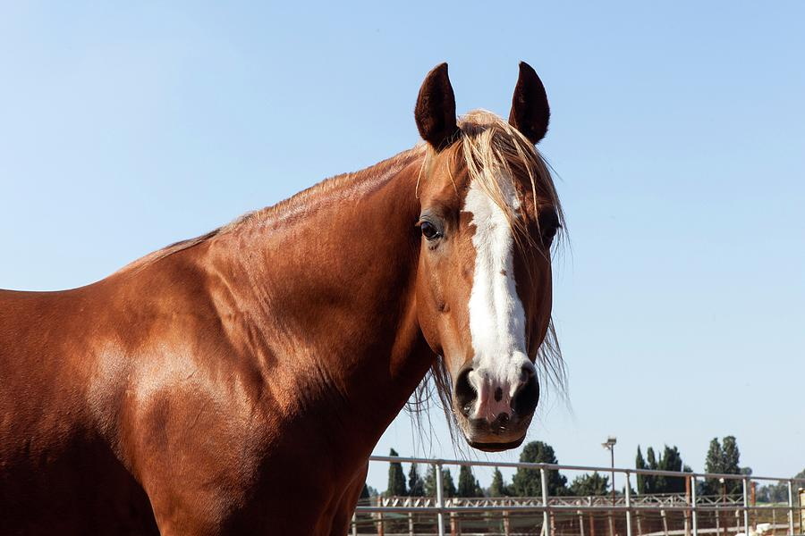 Chestnut Photograph - Close Up Of A Horse by Photostock-israel