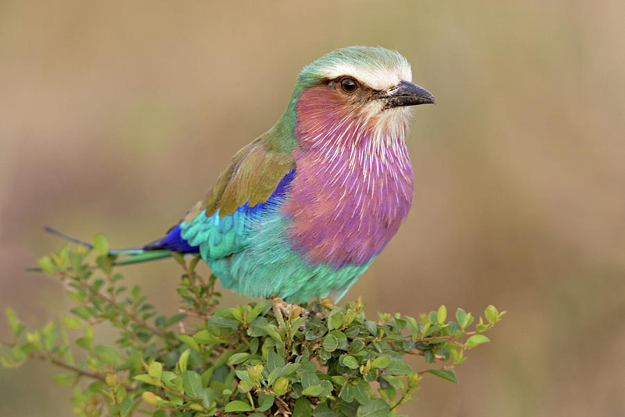 Close Up Of A Lilac Breasted Roller Photograph By Animal Images