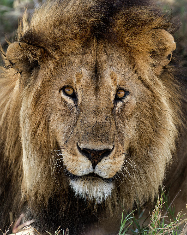 Close-up Of A Lion, Serengeti Photograph by Life On White
