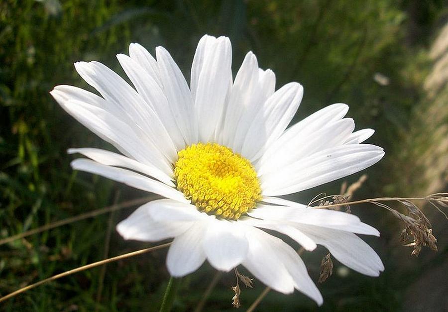 Common Daisy Photograph - Close Up Of A Margarite Daisy Flower by Tracey Harrington-Simpson