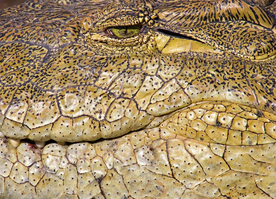 Horizontal Photograph - Close-up Of A Nile Crocodile Crocodylus by Animal Images