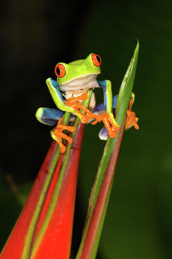 Vertical Photograph - Close-up Of A Red-eyed Tree Frog by Animal Images