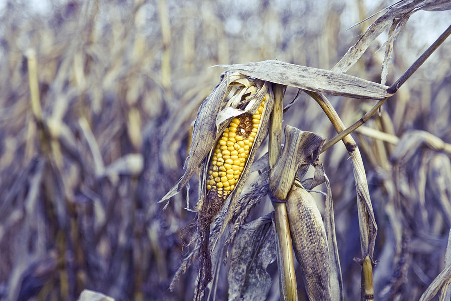 Close up of a rotten corn in the middle Photograph by Mr_morton