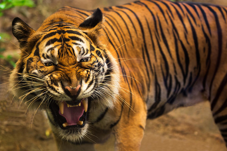 Close up of a tigers face with bare teeth of Bengal Tiger Photograph by Busakorn Pongparnit