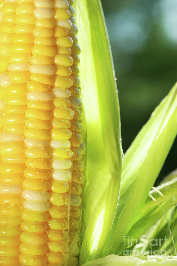 Agricultural Photograph - Close-up Of Corn An Ear Of Corn  by Sandra Cunningham