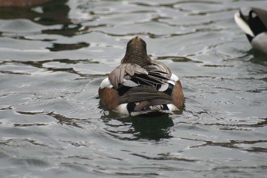 Tiny Photograph - Close Up Of Duck Back by Rob Luzier