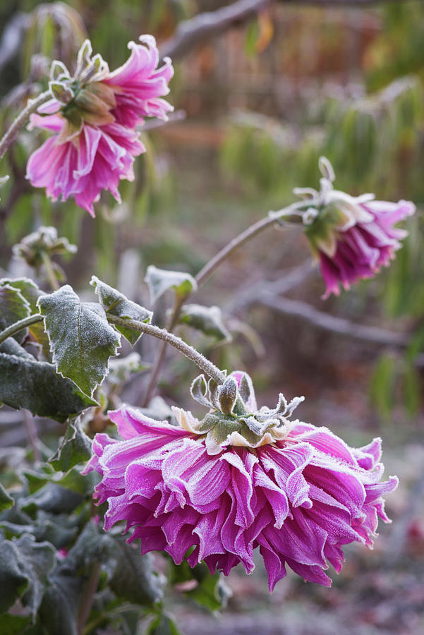 Vertical Photograph - Close-up Of Flowers Covered By Frost by Panoramic Images
